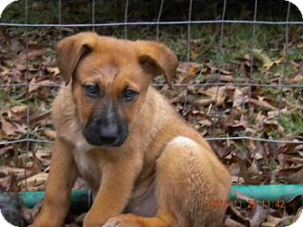 Shepherd (Unknown Type) Mix Puppy for adoption in Providence, Rhode Island - Raoul CC