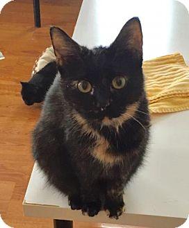 Domestic Mediumhair Cat for adoption in Greensburg, Pennsylvania - Yertle