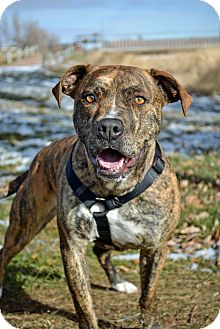 American Pit Bull Terrier Mix Dog for adoption in Cheyenne, Wyoming - Lilly