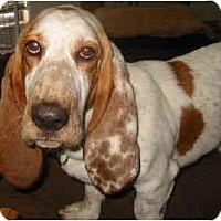 Adopt A Pet :: Tundra - Phoenix, AZ