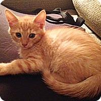 Adopt A Pet :: Sundrop - N. Billerica, MA