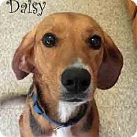 Adopt A Pet :: Daisy - Warren, PA