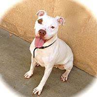 Adopt A Pet :: Handsome Blanco - Los Angeles, CA