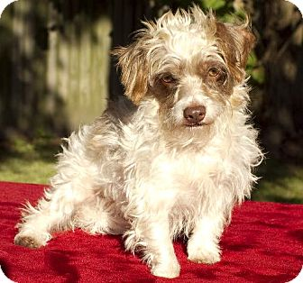 Dachshund/Shih Tzu Mix Dog for adoption in Alvin, Texas - Benji-Tiny Cutey N-Fostered in CT
