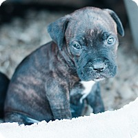 Adopt A Pet :: Greg $250 - Seneca, SC