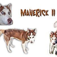 Adopt A Pet :: Maverick II - Seminole, FL