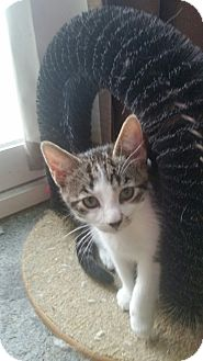 Domestic Shorthair Cat for adoption in Whitehall, Pennsylvania - Peanut