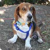 Adopt A Pet :: Cheddar - Whittier, CA