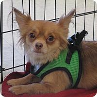 Adopt A Pet :: Lacee - Gilbert, AZ
