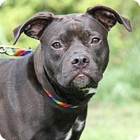 Adopt A Pet :: Violet  (Spayed) - Marietta, OH