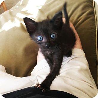 Domestic Shorthair Kitten for adoption in Austin, Texas - Archie