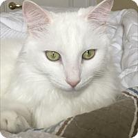 Adopt A Pet :: Bacall - Venice, FL