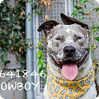 Australian Shepherd/American Staffordshire Terrier Mix Dog for adoption in Beverly Hills, California - Cowboy