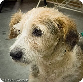 Wirehaired Fox Terrier/Beagle Mix Dog for adoption in Loudonville, New York - Scampy