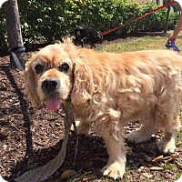 Cocker Spaniel Mix Dog for adoption in Cincinnati, Ohio - Ozzy