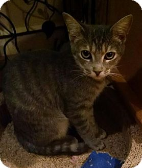Domestic Shorthair Cat for adoption in Glendale, Arizona - Jazzy