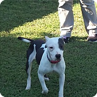 American Pit Bull Terrier Dog for adoption in San Antonio, Texas - Helen