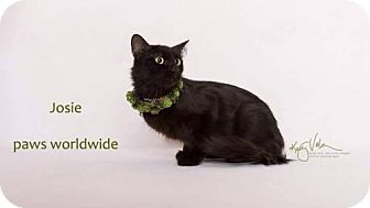 Siberian Cat for adoption in Yucca Valley, California - JOSIE