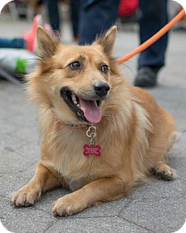 Corgi/Border Collie Mix Dog for adoption in Long Beach, New York - Little Jenny