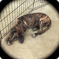 Adopt A Pet :: Shaggy - Ijamsville, MD
