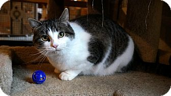 Domestic Shorthair Cat for adoption in Manitowoc, Wisconsin - The Pad