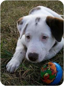 Australian Shepherd/Labrador Retriever Mix Puppy for adoption in Hagerstown, Maryland - GIZMO