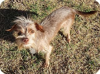 Dog Ready For Adoption Yorkshire Terrier Yorkie Chihuahua Mixed Hd ...