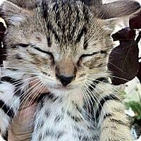 Adopt A Pet :: Benjamin - Santa Monica, CA