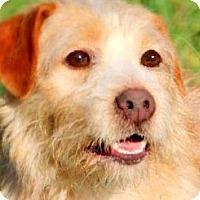 Adopt A Pet :: BENNY(ADORABLE