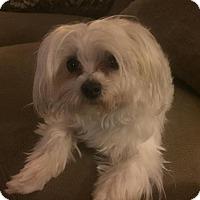 Adopt A Pet :: Precious - San Dimas, CA