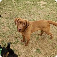 Adopt A Pet :: Penny - Brooklyn Center, MN