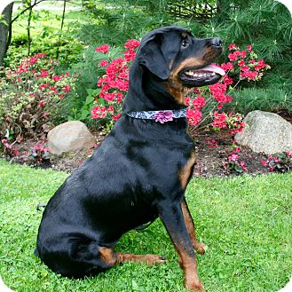 Rottweiler Mix Dog for adoption in Frederick, Pennsylvania - Clementine