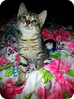 Domestic Shorthair Kitten for adoption in Tampa, Florida - Jaime