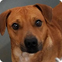 Shepherd (Unknown Type) Mix Dog for adoption in Fort Smith, Arkansas - Copper