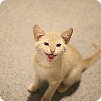 Domestic Shorthair Kitten for adoption in Lincoln, Nebraska - Creme
