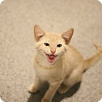 Adopt A Pet :: Creme - Lincoln, NE