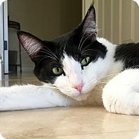 Adopt A Pet :: Flynn - Foothill Ranch, CA