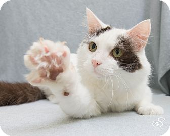Domestic Longhair Cat for adoption in Fort Collins, Colorado - Tomah