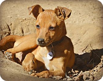 Chihuahua/Dachshund Mix Puppy for adoption in Glastonbury, Connecticut - Elvis~cat friendly~