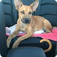Adopt A Pet :: Zoey - Houston, TX