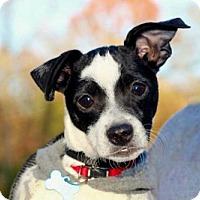 Rat Terrier Mix Puppy for adoption in Hagerstown, Maryland - PUPPY PEETA