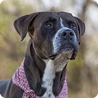 Adopt A Pet :: Tank (aka Bongo) - Flint, MI