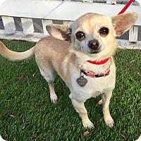 Adopt A Pet :: Khloe (BH) - Santa Ana, CA