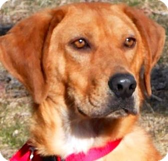Vizsla Mix Dog for adoption in Wakefield, Rhode Island - BO