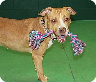 American Staffordshire Terrier Mix Dog for adoption in Snellville, Georgia - Faith