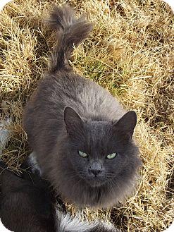 Persian Cat for adoption in Mesa, Arizona - Ripley