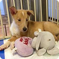 Adopt A Pet :: Lo - Pueblo West, CO