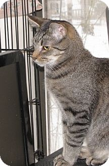 Domestic Shorthair Cat for adoption in Harrison, New York - Morgan