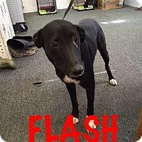 Adopt A Pet :: Flash - Waycross, GA