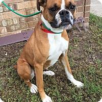 Adopt A Pet :: Satchmo - Austin, TX